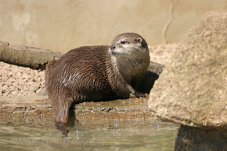 8807 Asian Short-clawed Otter