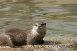 8816 Asian Short-clawed Otter