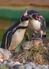 Humboldt Penguins at London Zoo