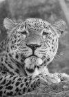 Leopard at Chessington Zoo