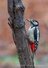Great Spotted Woodpecker in Suffolk Copse