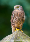 Kestrel at Grange Farm