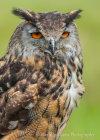 Eagle Owl at Hardwick Hall