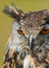 Eagle Owl at Hardwick Hall