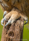Owl Claw at Hardwick Hall