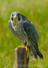 Peregrine Falcon at Hardwick Hall