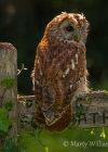 Tawny Owl at Grange Farm