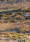 Short-Eared Owl in the Outer Hebrides