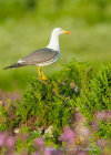 Lesser Black-Backed Gull on Skomer Island