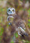 Short-Eared Owl at British Wildlife Centre