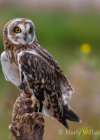 Short-Eared Owl at British Wildlife Centre