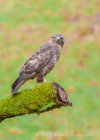 Buzzard on Kirkcudbright Farm