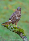 Buzzard in Dumfries Woodland