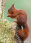 Red Squirrel at Formby Point