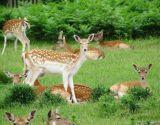 Deer in Summer, Bush Park