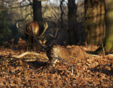 Sitting Buck, Richmond Park