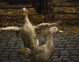 Geese at Riverside Fair