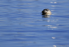 Harbour Seal (Phoca vitulina)