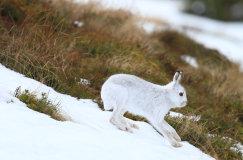 Mountain Hare (Lepus timidus)