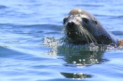 California Sea Lion (Zalophus californianus)
