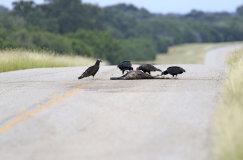 Turkey Vulture (Catharses aura) and Black Vultures (Coragyps stratus)