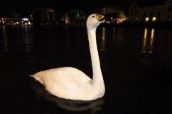 Whooper Swan (Cygnus cygnus)