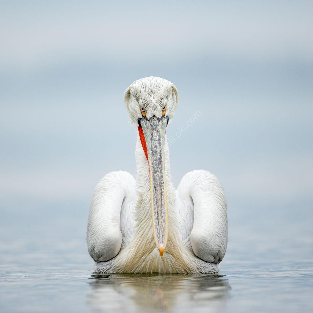Pelican 20