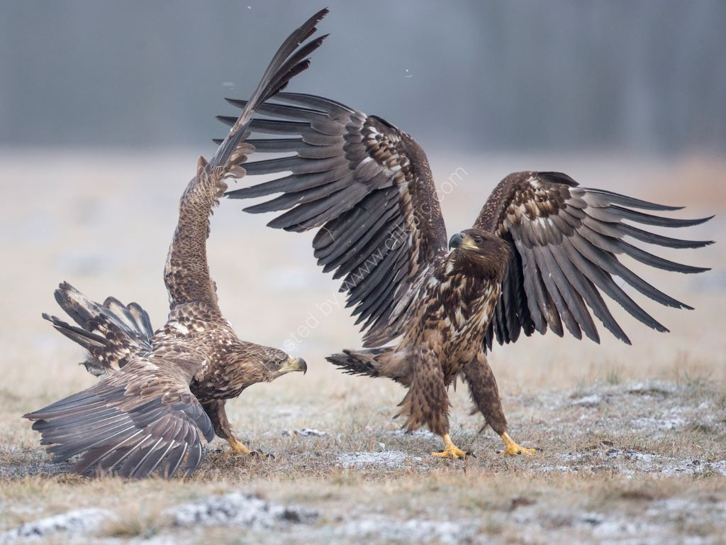 Fighting Eagles 2