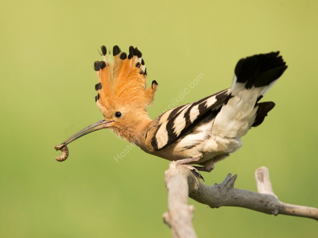 Displaying Hoopoe