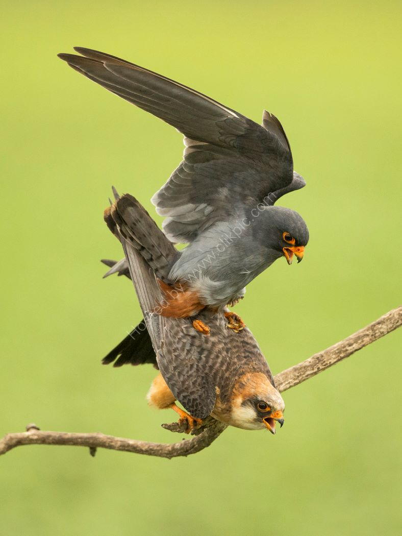 Breeding Falcons