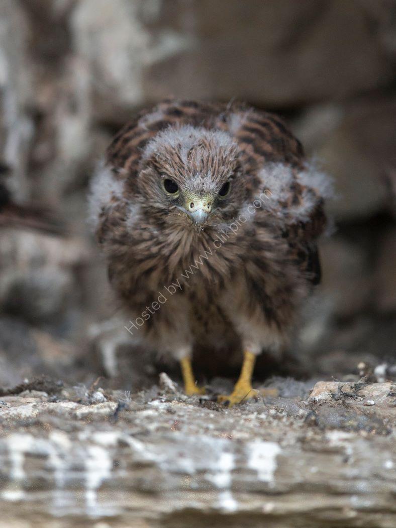 Kestrel chick 5