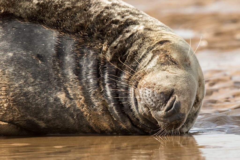 Sleeping Bull Seal