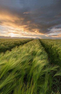 Barley Field 2