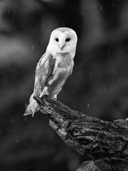 Barn Owl in the rain