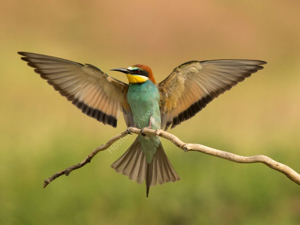 Bee Eater 11