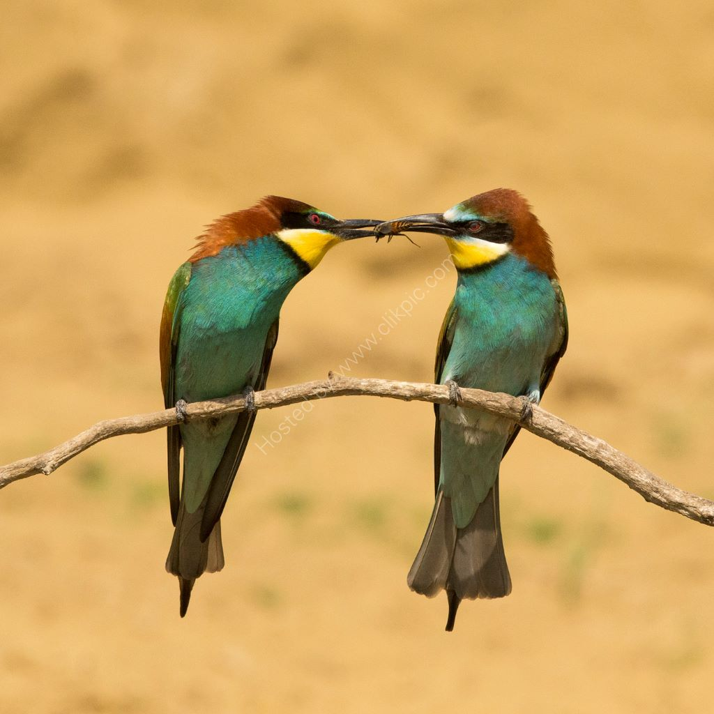 Bee Eaters and Bee
