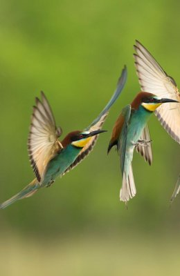 Bee Eater 5
