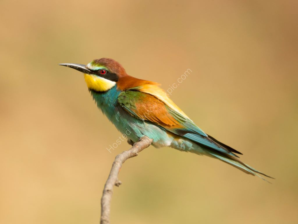 Bee Eater 7