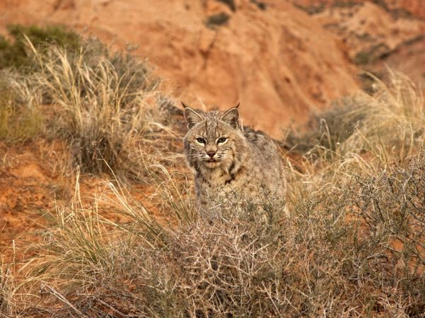 Bobcat (2)