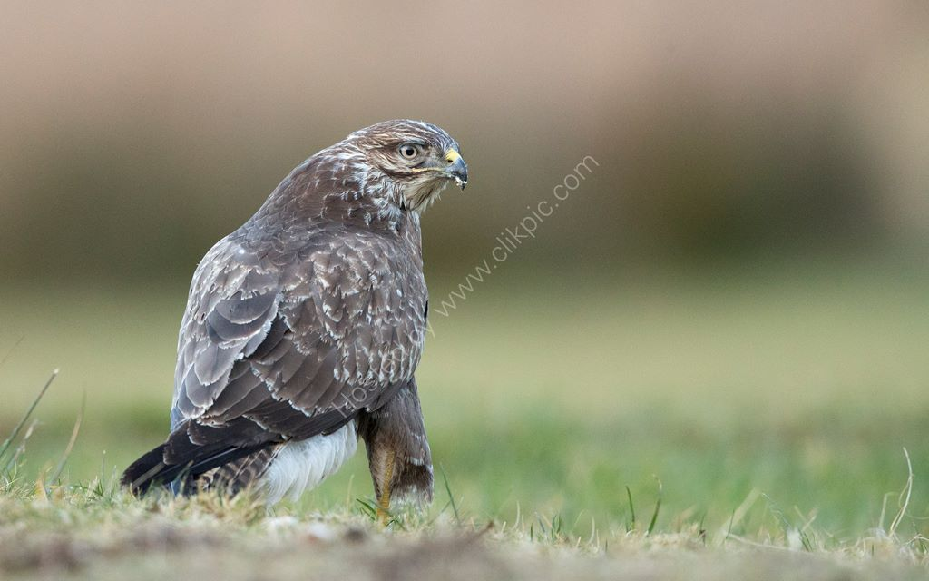 Common Buzzard 4