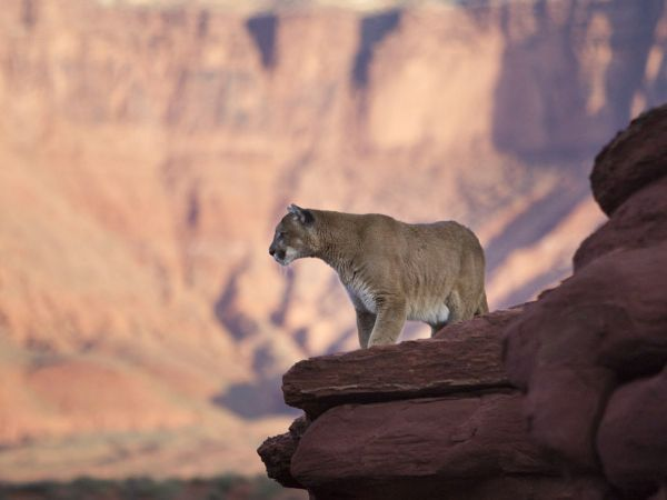 Dawn Mountain Lion