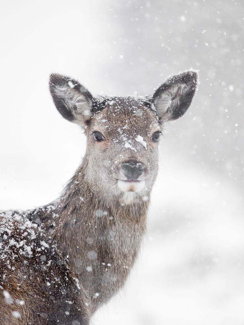 Deer in more snow