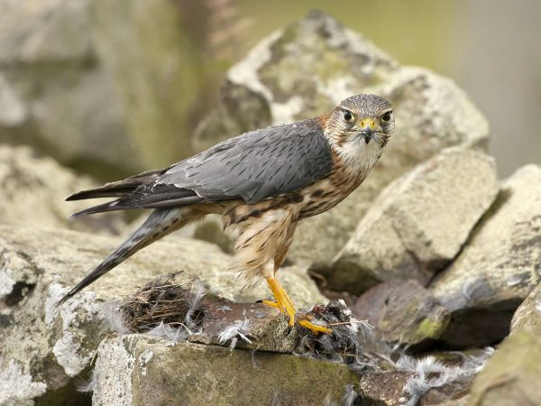 More Rain on the Merlin