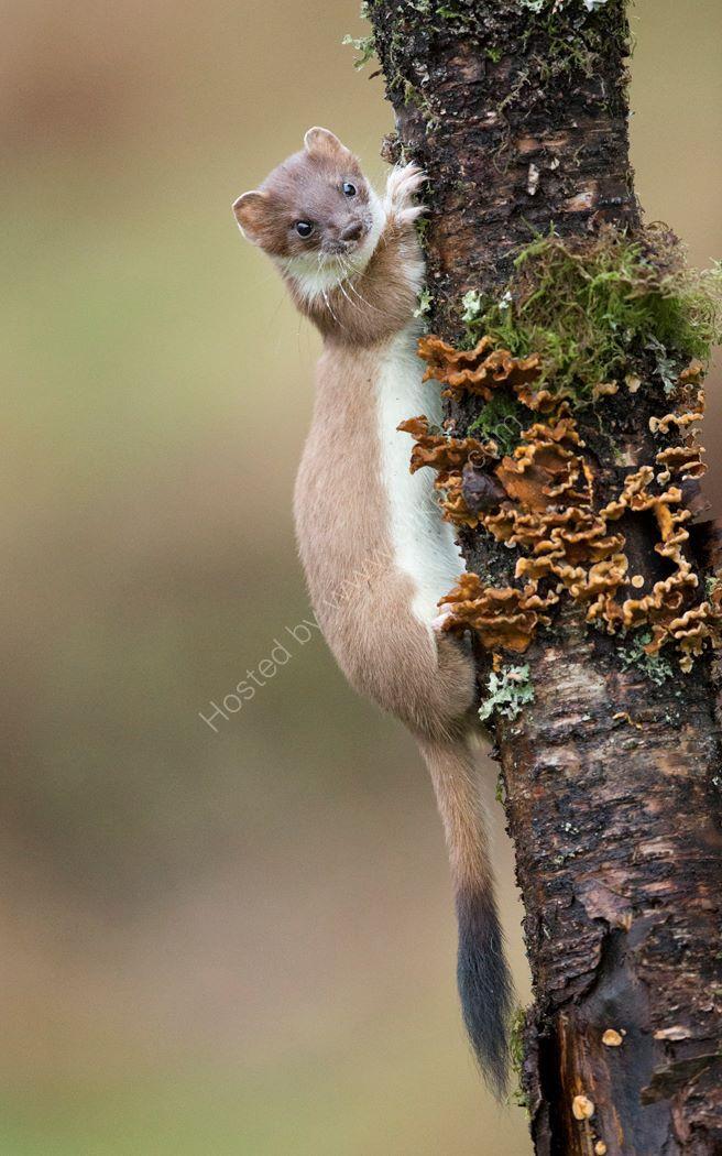 Stoat in Tree