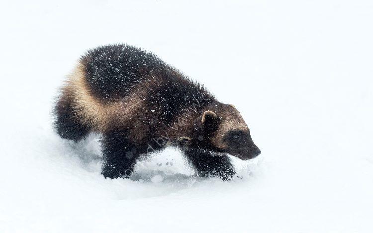 Wolverine in Snow