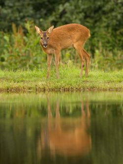 Fawn Reflection
