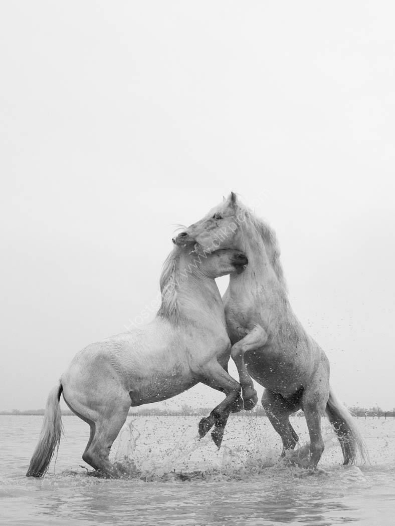 Camargue Horses 11