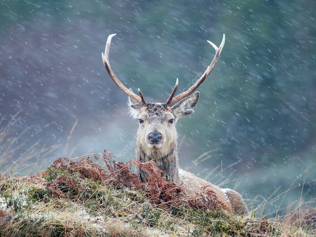 Deer in a Snowstorm 2