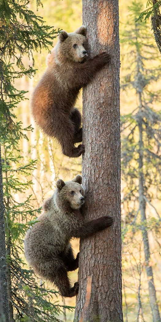 Cubs in a Tree