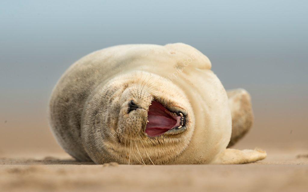 Common Seal Yawn